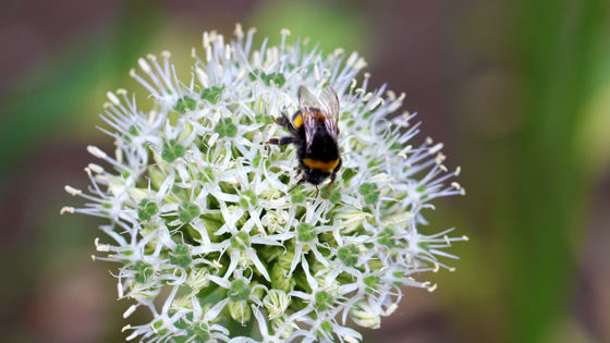 Bulbs for Pollinators