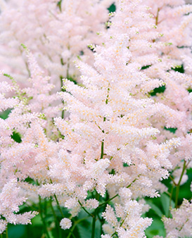 Astilbe Straussenfede