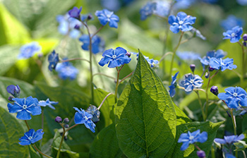 Omphalodes