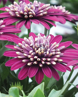 Osteospermum Erato Double Purple