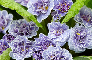 Top 10 extremely hardy perennials