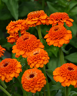 Zinnia elegans Zinderella Orange