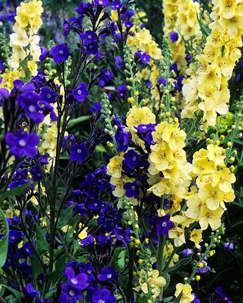 Verbascum and Anchusa
