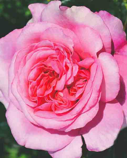Rosa Timeless Pink