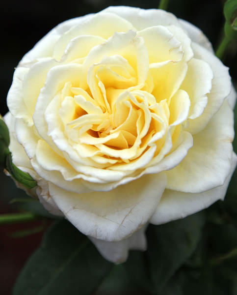 Rosa Grosvenor House