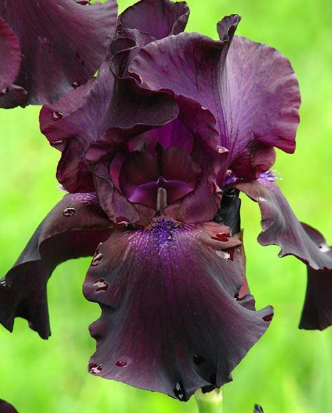 Iris English Cottage Bearded Iris Sent in 9cm pot