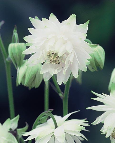 Double Aquilegia Collection