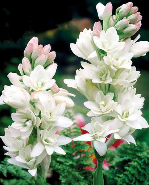 Polianthes Tuberosa Collection