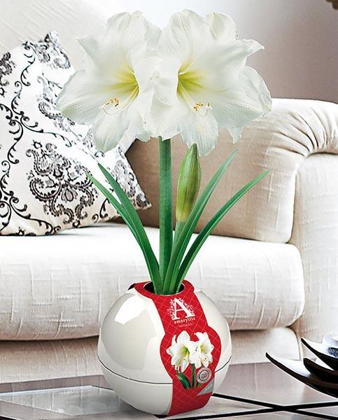 Amaryllis White Bulbs and White Baubles