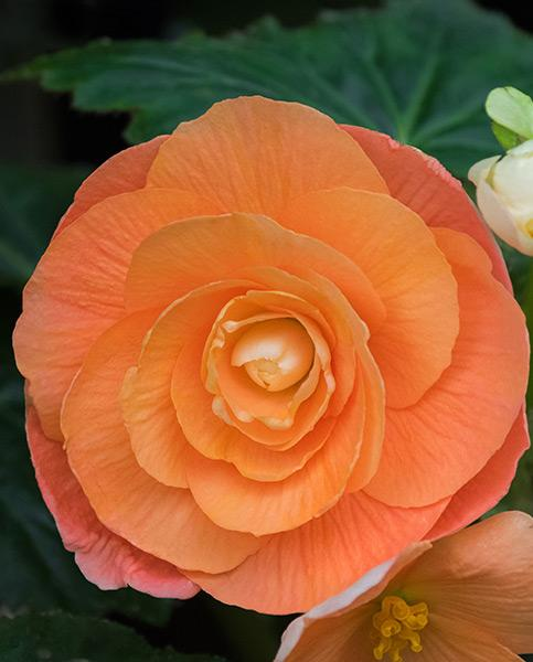 Begonia Double Copper