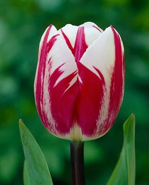 Tulip Raspberry Ripple