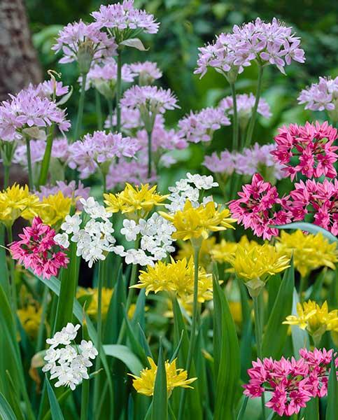 Allium Fireworks Mix Hayloft
