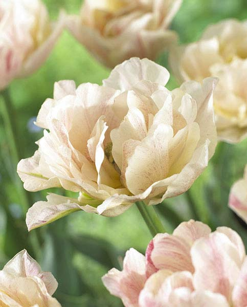 Tulip Silk Road