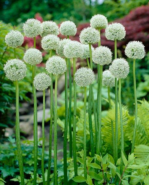 Allium stipitatum White Giant