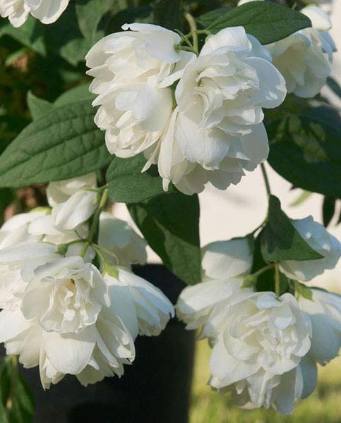 Philadelphus Little White Love