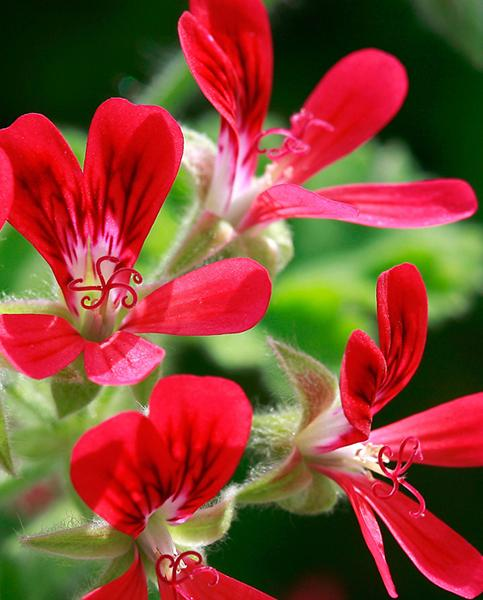 Pelargonium Scented Concolor Lace