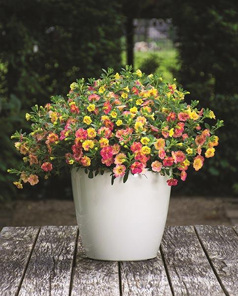 Calibrachoa Double Pink Yellow