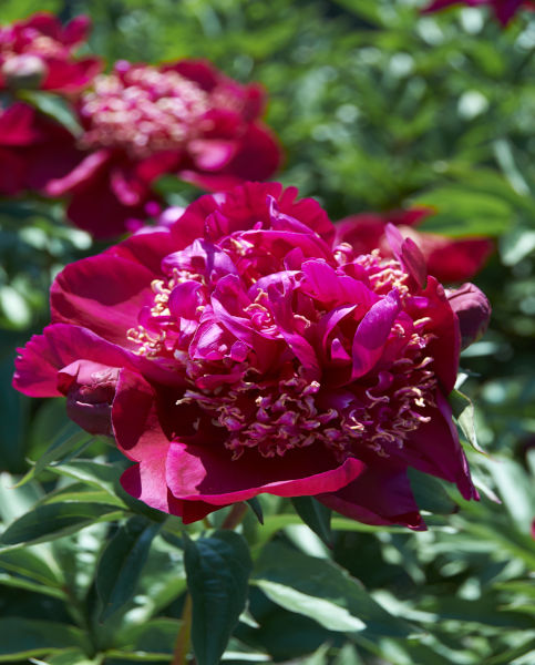 Paeonia Nippon Beauty