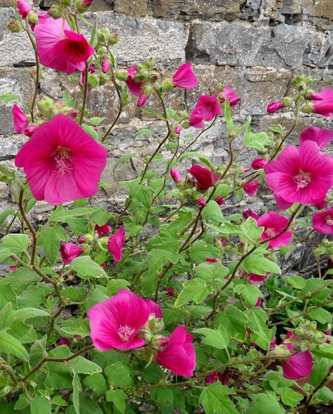 Lavatera Ruby Red