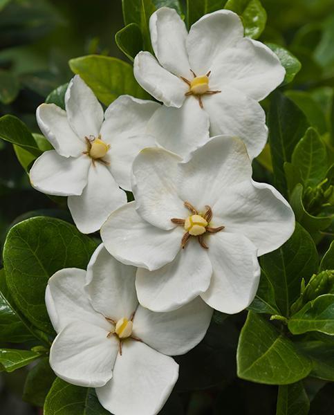 Gardenia Jasminoides Kleim S Hardy Hayloft