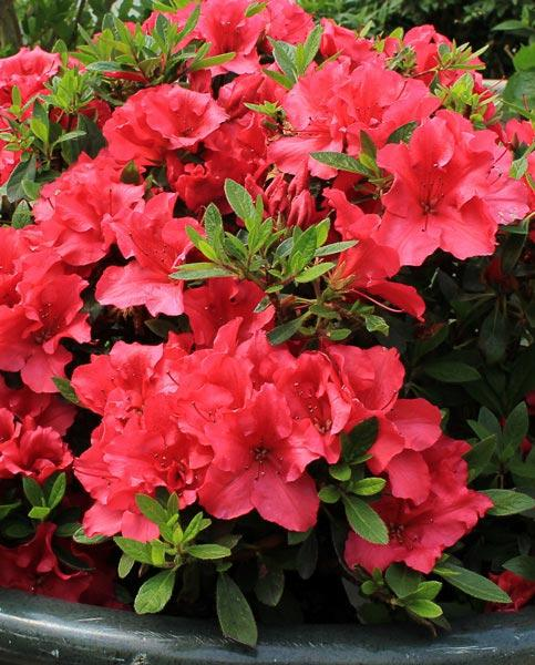 Azalea Bloomchampion Dark Red