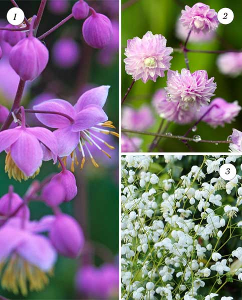 Marvellous Meadow Rue Collection