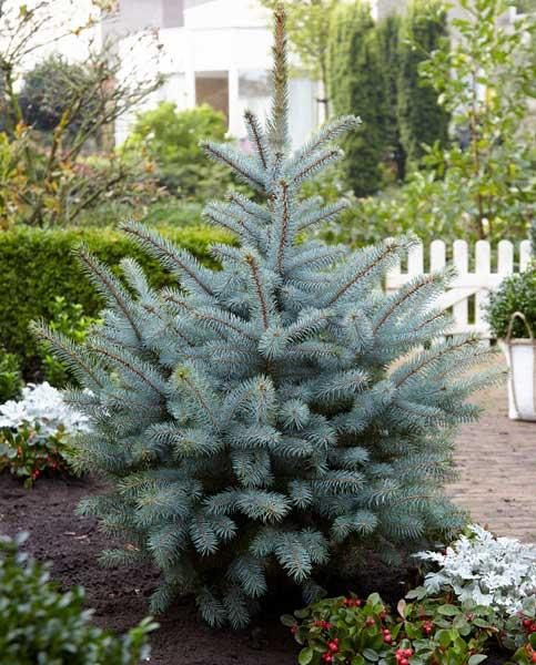 Picea Pungens Glauca Hoopsii