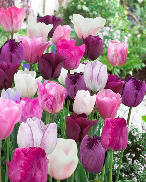 Tulip Crushed Berry Mix