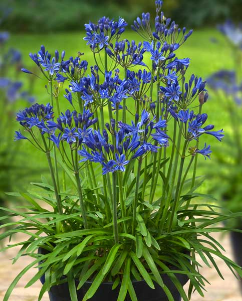 Agapanthus Summer Love Blue