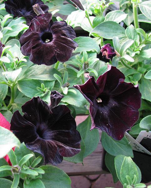 Petunia Black Velvet Hayloft