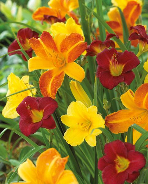 Hemerocallis Breeders Choice