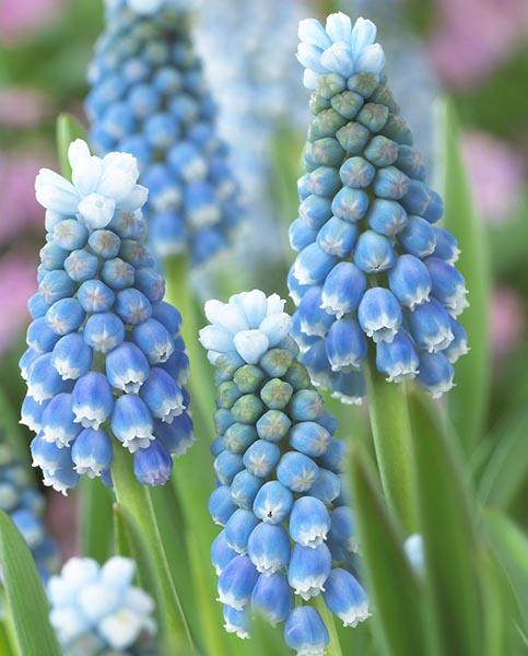 Muscari Mixed Collection