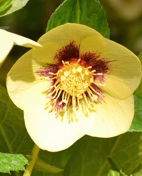 Hellebore  single super yellow with red center