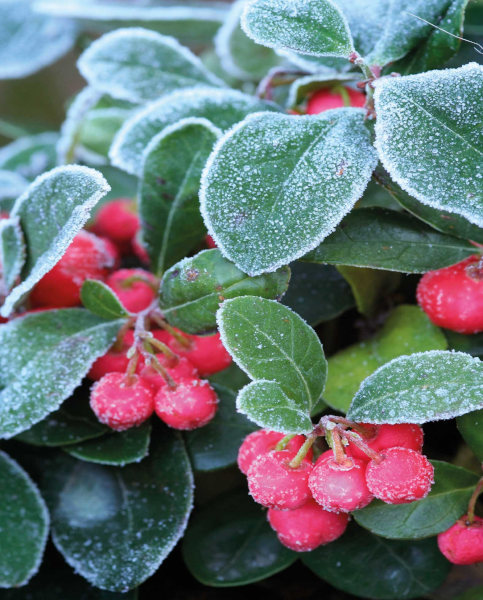 Gaultheria red with frost