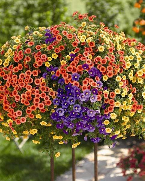 Calibrachoa Celebration Orient