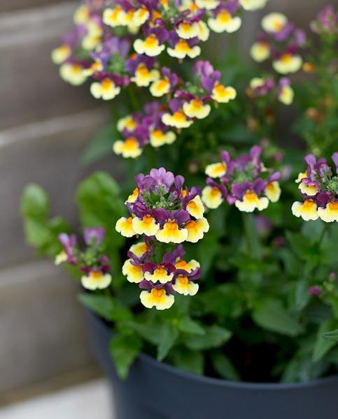 Nemesia aromatica Rhubarb and Custard