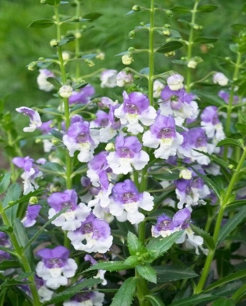 Angelonia Archangel Angelface Blue Bicolour