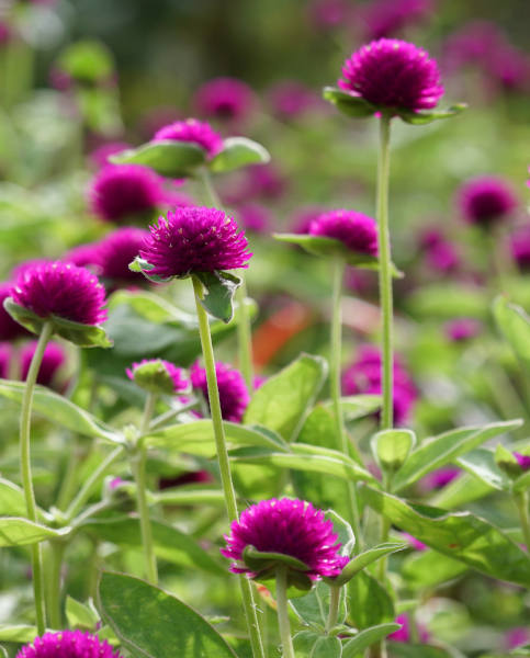 Gomphrena Gnome Purple