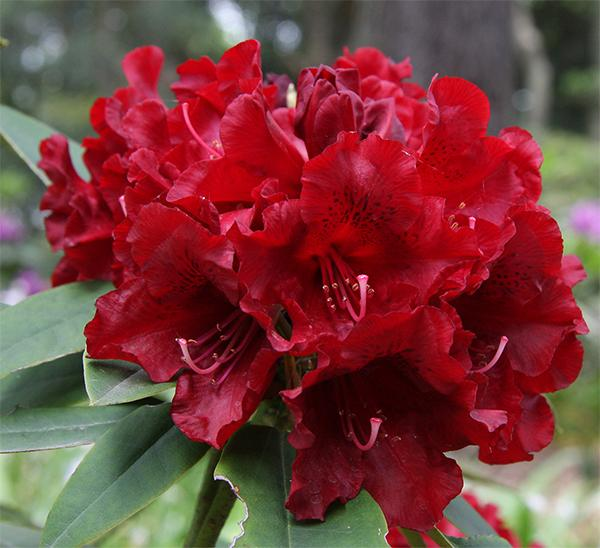 Rhododendron Dopey