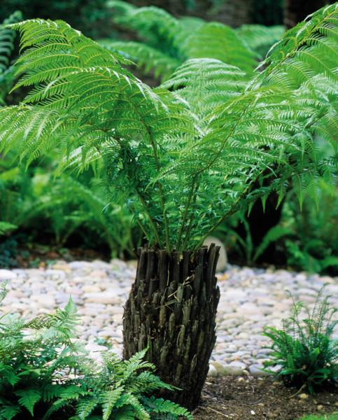 Dicksonia Tree Fern