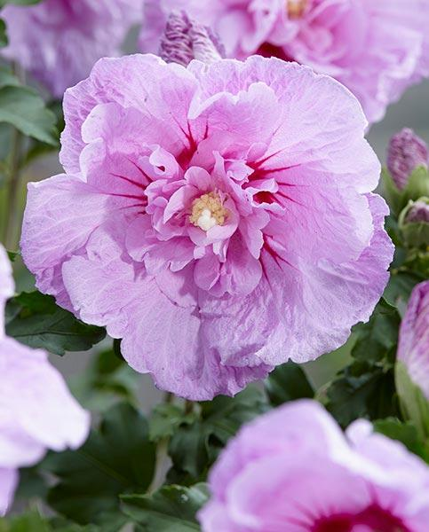 Hibiscus syriacus Pink Chiffon Rose Mallow Plant in 9cm Pot