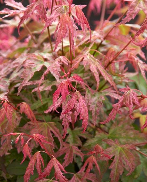 Acer Shirasawanum Autumn Moon in 7cm Pot Amazing Leaf Colour Japanese Maple