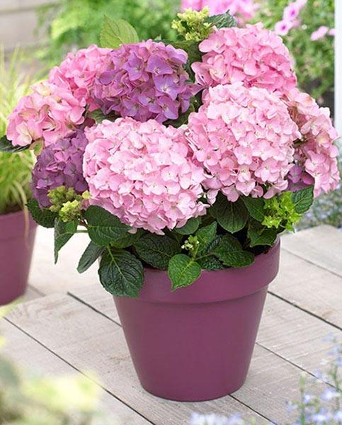 Hydrangea So-Long-Rosy Coumont