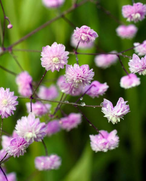 Thalictrum Hewitts Double
