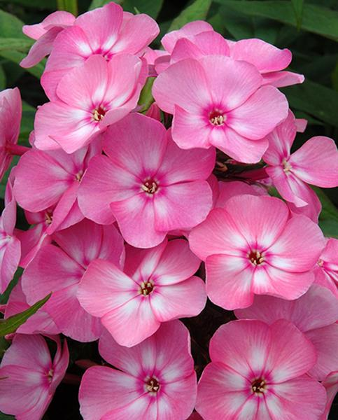 Phlox Sweet Summer Candy