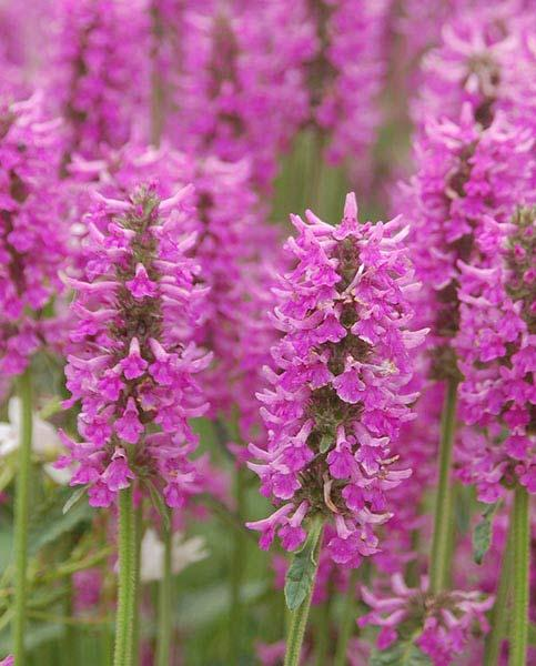 Stachys Summer Romance