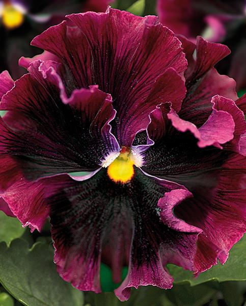 Pansy Frizzle Sizzle Burgundy