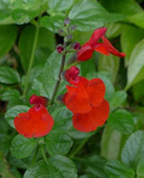 Salvia Jezebel