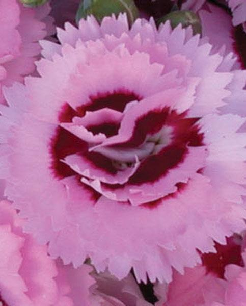 Free delivery!!!! Dianthus Scent First® /'Romance/' Plug Plants Pack x 5