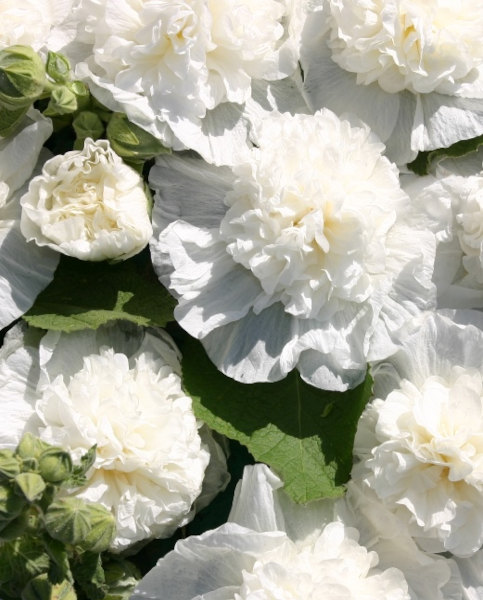 Alcea Chaters Double White